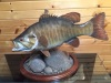 Smallmouth-table-top