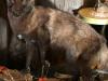 Black Coyotee