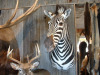 zebra-shoulder-mt